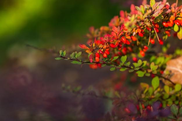 Bayas rojas maduras de agracejo en primer plano de la rama. arbusto fructífero de agracejo o berberis con racimos. pequeñas bayas rojas amargas de agracejo en la naturaleza. copie el espacio