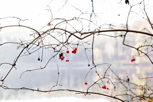 Bayas de viburnum rojo en un árbol