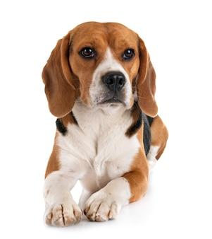 Beagle aislado