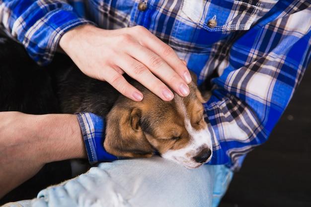 Beagle cachorro dormir en manos