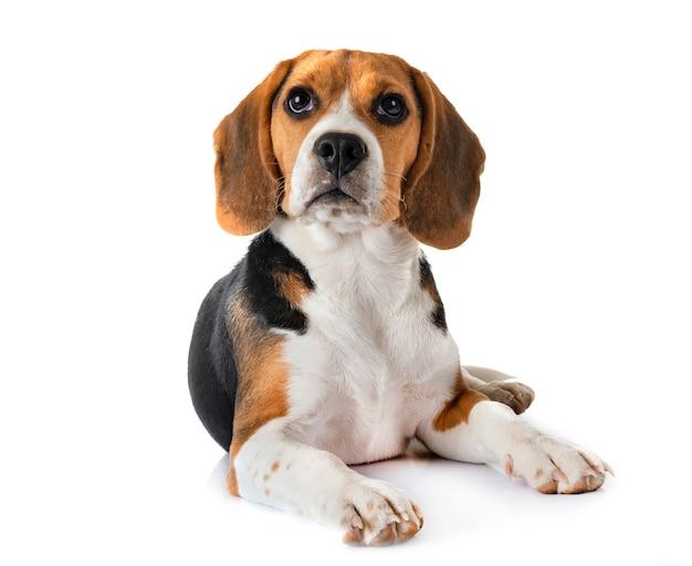 Beagle cachorro en estudio