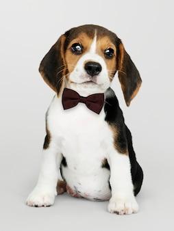 Beagle lindo en una pajarita marrón oscuro