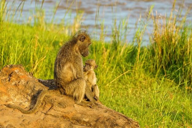 Bebé babuino y madre en el río olifants