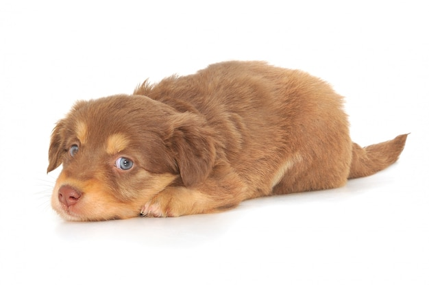Bebé cachorro aislado sobre fondo blanco.