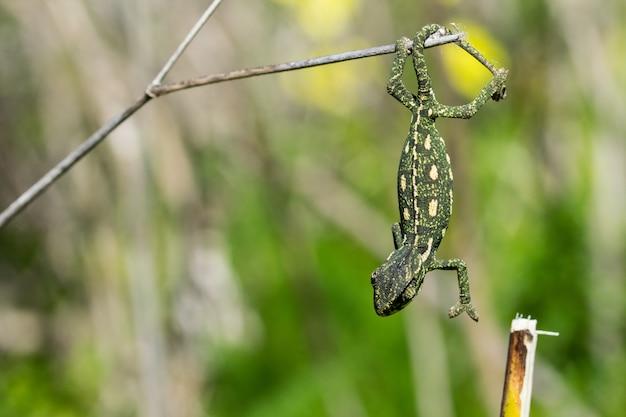 Bebé camaleón equilibrado sobre una ramita de hinojo.