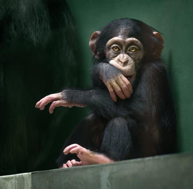 Bebé chimpancé mira en cámara