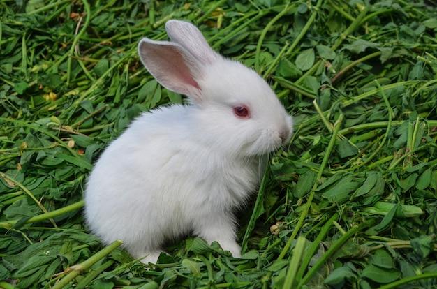 Bebé conejo blanco en pradera