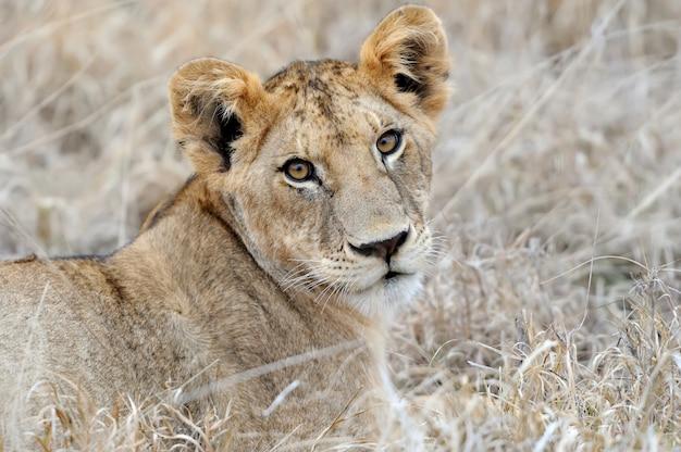 Bebé león en la sabana