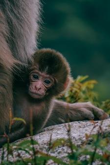 Bebé macaco japonés marrón sobre una piedra rodeada de vegetación