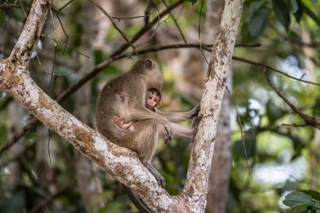 Bebé salvaje macaco de cola larga que chupa la leche materna de su madre