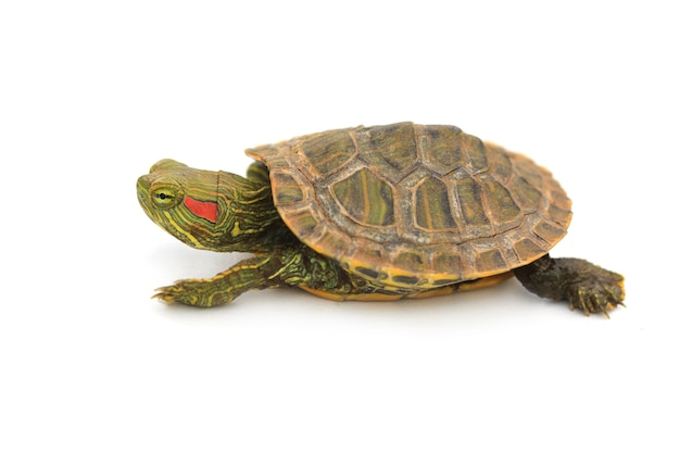 Bebé tortuga deslizante de orejas rojas en blanco