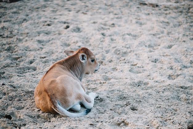 Becerro sentado en el suelo en el granero