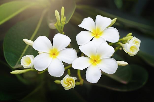 Belleza blanca plumeria flor en árbol en jardín con sol