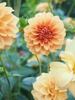 La belleza de las flores de la dalia en la granja verde.