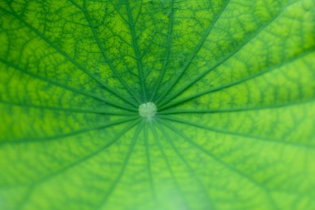 Belleza verde hoja de loto y patrón de vena en hoja