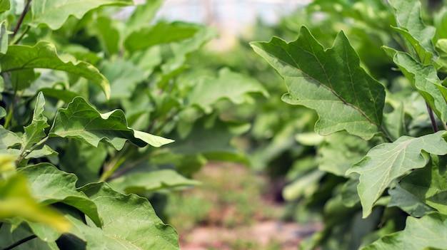 Berenjenas orgánicas frescas. berenjena púrpura crece en el suelo. cultivo de hortalizas en el huerto