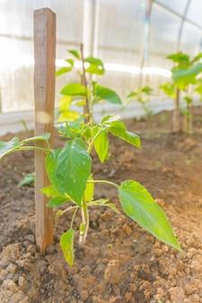 Berenjenas que crecen en el invernadero. hileras de verduras. agricultura, agricultura.