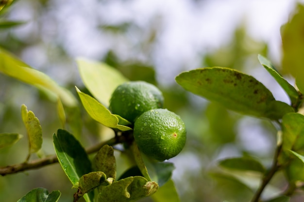 Bergamota de cal que crece en árboles después de la lluvia
