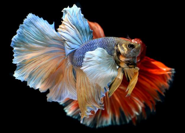 Betta fish en acción de libertad