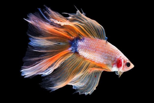 Betta fish de media luna