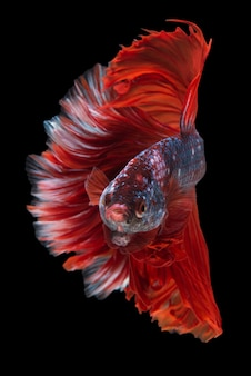 Betta fish de media luna