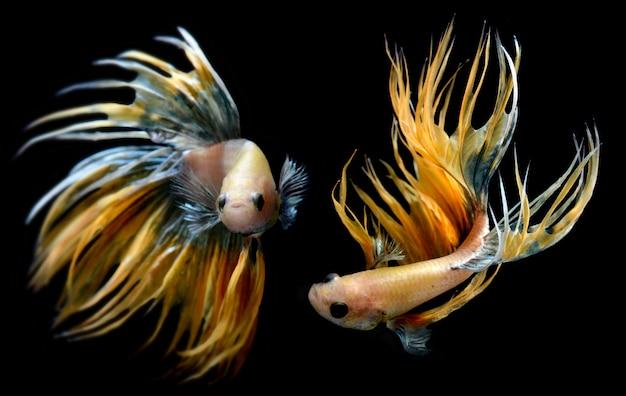 Betta o saimese luchando contra los peces.