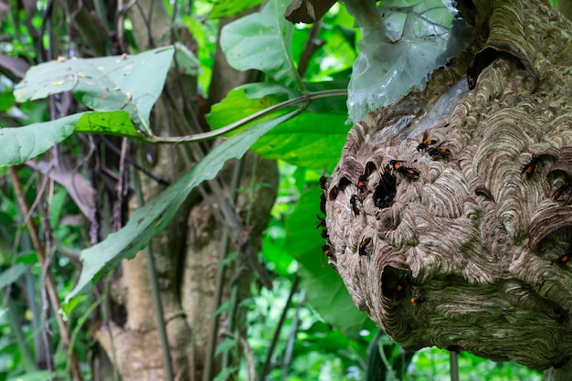 Big wasp en busca de comida le da a larva el avispero