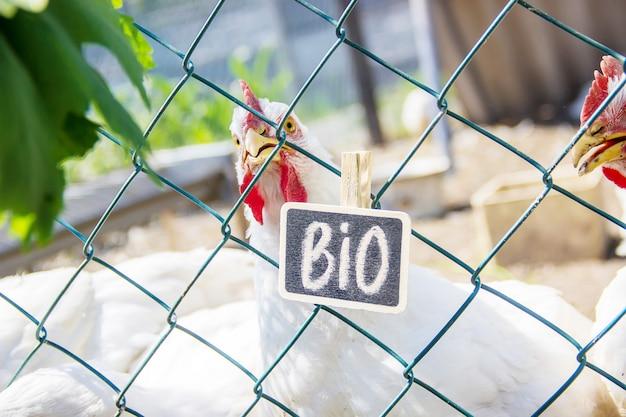 Bio pollos en una granja de casa. enfoque selectivo