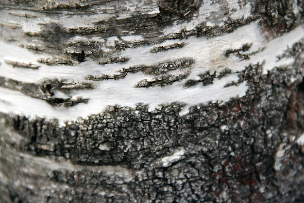 Birch textura del árbol de cerca