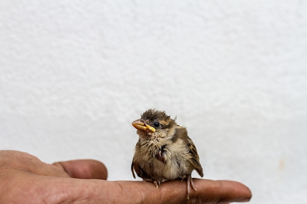 Bird house sparrow chick en la mano palm