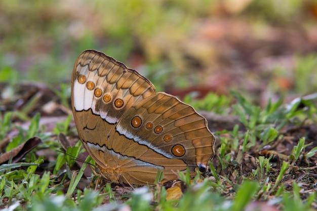 Birmania junglequeen, hermosa mariposa