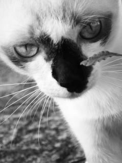 Birmano gato negro y blanco tailandia