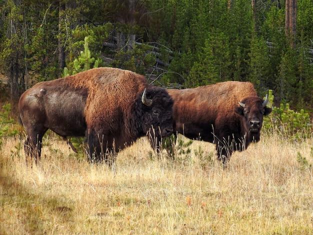 Bisonte americano de pie en un campo
