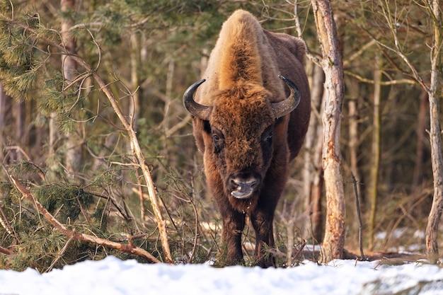 Bisonte europeo en el hermoso bosque blanco durante el invierno bison bonasus