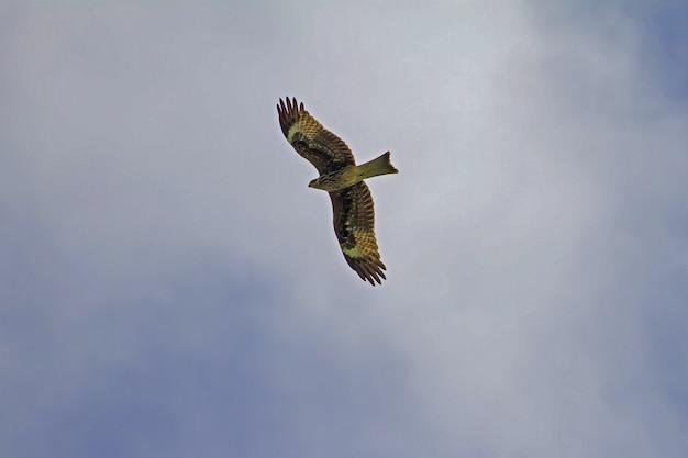 Black kite bird en vuelo