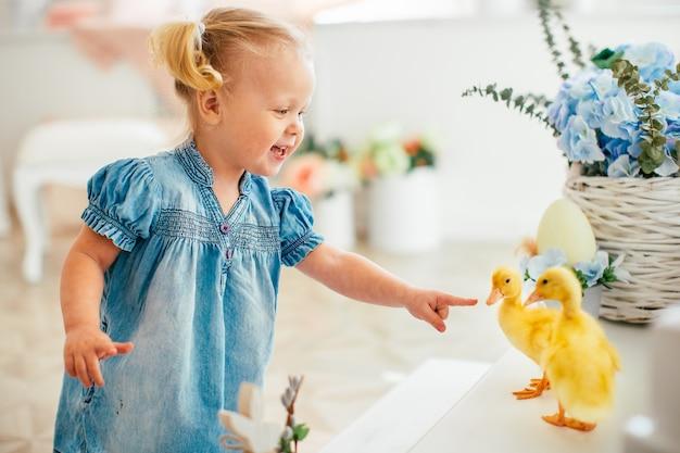 Blondel niña de vestido azul y dos ponytales jugando con patitos amarillos esponjosos y riendo. pascua, primavera.