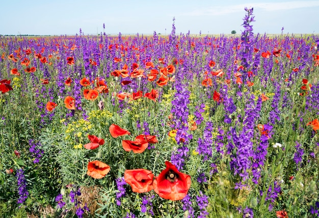Blooming amapolas rojas y flores de color púrpura en el campo.