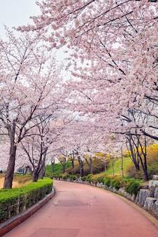 Blooming callejón de cerezos en flor de sakura en el parque