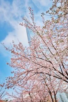 Blooming callejón de flor de cerezo de sakura en el parque
