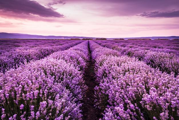 Blooming campo de lavanda bajo los colores púrpuras de la puesta de sol de verano