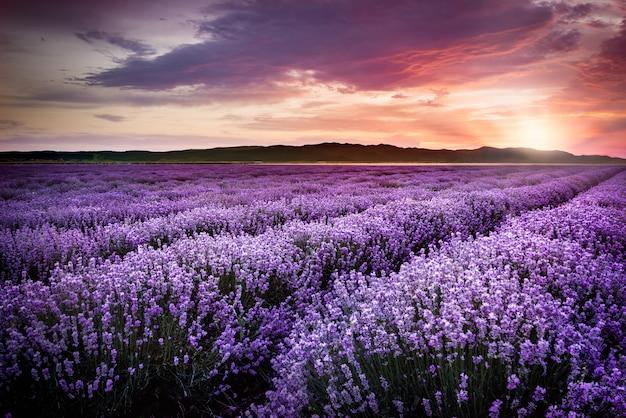 Blooming campo de lavanda bajo los colores rojos de la puesta de sol de verano