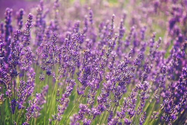 Blooming campo de lavanda. flores de verano