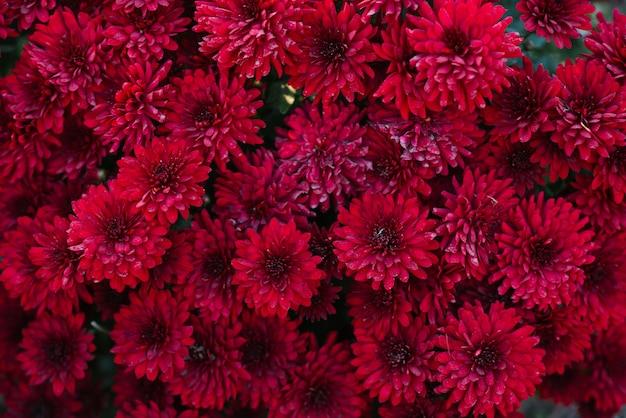 Blooming crisantemos rojos granate en el otoño en el fondo floral del jardín