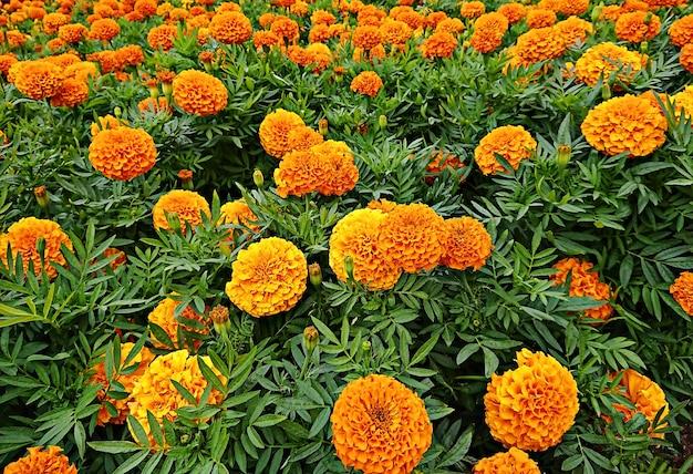 Blooming flores de caléndula naranja y amarillo y hoja verde en jardín