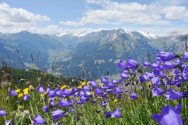 Blooming flores de campo púrpura con vistas a las montañas nevadas, alpes de austria