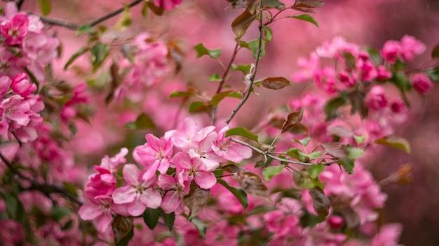 Blooming flores de color rosa manzano en el jardín de primavera. floral natural
