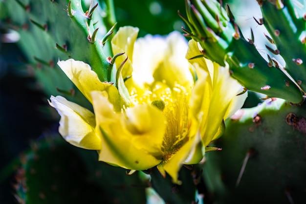 Blooming opuntia cactus