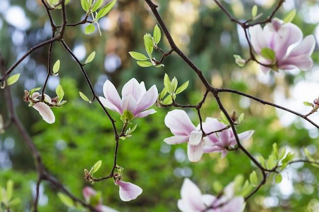 Blooming rama de un árbol de magnolia.