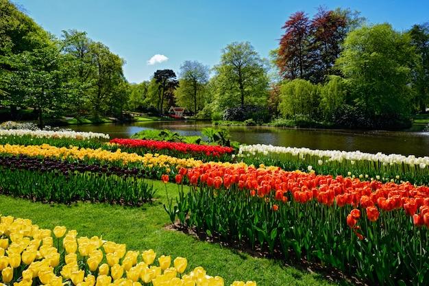 Blooming tulipanes macizo de flores en el jardín de flores de keukenhof, holanda