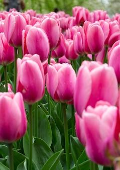 Blooming tulipanes de tono rosa en keukenhof, el parque de jardines de flores más grande del mundo